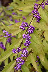 Early Amethyst Beautyberry (Callicarpa dichotoma 'Early Amethyst') at Garden Treasures