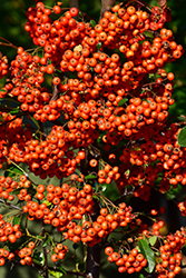 Mohave Firethorn (Pyracantha 'Mohave') at Garden Treasures