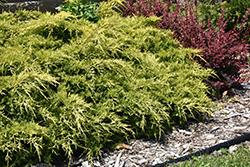 Gold Lace Juniper (Juniperus x media 'Gold Lace') at Garden Treasures