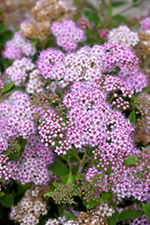 Little Princess Spirea (Spiraea japonica 'Little Princess') at Garden Treasures