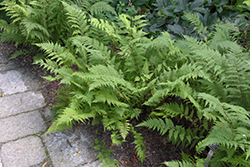 Lady in Red Fern (Athyrium filix-femina 'Lady in Red') at Garden Treasures