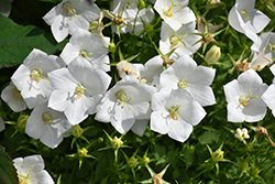 White Clips Bellflower (Campanula carpatica 'White Clips') at Garden Treasures