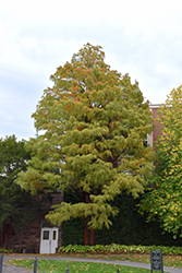 Baldcypress (Taxodium distichum) at Garden Treasures