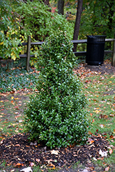 Acadiana™ Holly (Ilex 'Magiana') at Garden Treasures