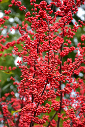 Winter Red Winterberry (Ilex verticillata 'Winter Red') at Garden Treasures