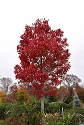 October Glory Red Maple (Acer rubrum 'October Glory') at Garden Treasures