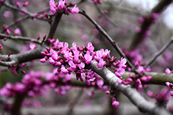 Burgundy Hearts Redbud (Cercis canadensis 'Greswan') at Garden Treasures