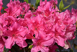 Encore® Autumn Sangria™ Azalea (Rhododendron 'Roblee') at Garden Treasures