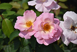 Peachy Knock Out® Rose (Rosa 'Peachy Knock Out') at Garden Treasures