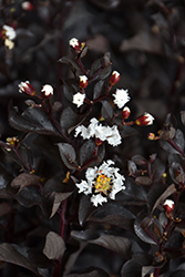 Ebony And Ivory Crapemyrtle (Lagerstroemia 'Ebony And Ivory') at Garden Treasures
