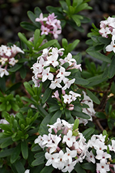 Eternal Fragrance Daphne (Daphne x transatlantica 'BLAFRA') at Garden Treasures