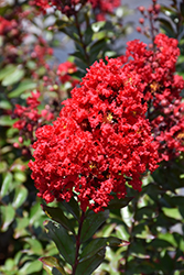 Red Magic™ Crapemyrtle (Lagerstroemia 'PIILAG-VI') at Garden Treasures