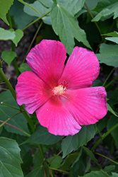 Big Hit™ Red Hibiscus (Hibiscus 'Happa Red') at Garden Treasures